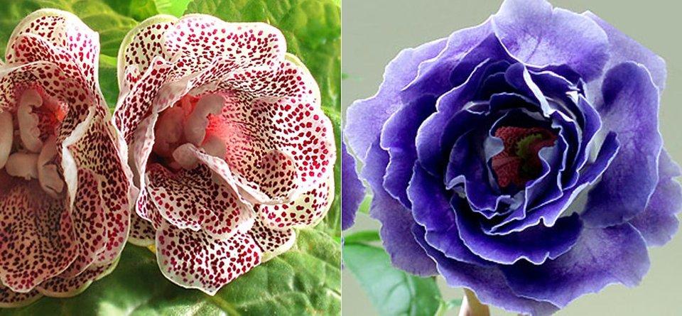 глоксинии Адажио и Blue Spring