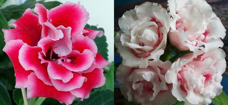 глоксинии Очарование и Rokoko Pink
